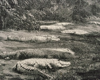 1880 The Midday Siesta Original Antique Engraving - Wall Decor - matted and available framed 8 x 10 inches - Animal Art - Crocodiles