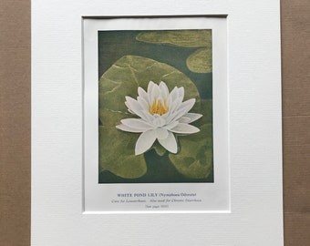 1927 Water Lily - Medicinal Value Original Vintage Print - Mounted and Matted - Medical - Health - Nutrition - Herbalism - Available Framed