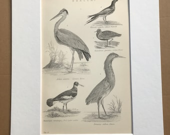 1891 Grallae Original Antique Print - Bird Art - Heron, Oyster Catcher, Pratincole, Plover, Bittern - Available Mounted, Matted and Framed