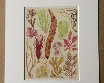 1940s Algae: The Simplest of all forms of Wildlife Original Vintage Print - Mounted and Matted - Seaweed - Botany - Available Framed