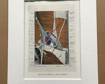 1942 Inguinal Region, from behind Original Vintage Print - Organ - Anatomy - Medical Decor - Biology - Available Framed