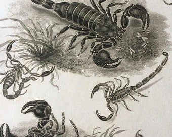 1819 Scorpions Original Antique Engraving - Available Mounted and Matted - Arachnida - Insect - Available Framed