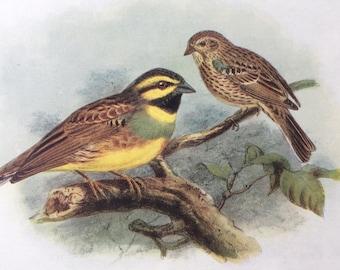 1907 Cirl Bunting Original Antique Lithograph - Ornithology - Bird Art - Birds -  Wall Decor - Home Decor - Wall Art - Wildlife