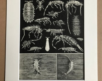 1968 Insects Original Vintage Print - Entomology - Insect Art - Mounted and Matted - Available Framed