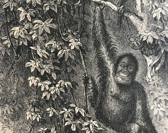 1896 Orangutan and Nest Original Antique Print - Monkey - Primate - Natural History - Mounted and Matted - Available Framed