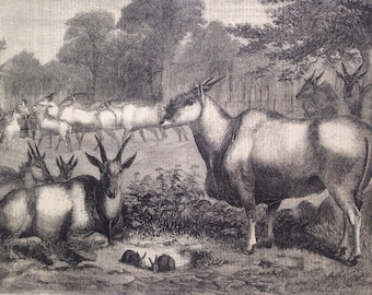 1856 The Elands in the Gardens of the Zoological Society Original Antique Engraving, Newspaper Illustration, Animal Art, Decorative Print
