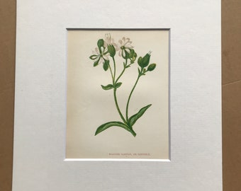1852 Original Antique Hand-Coloured Anne Pratt Botanical Illustration - Bladder Campion - Flower - Botany - Garden - Available Framed