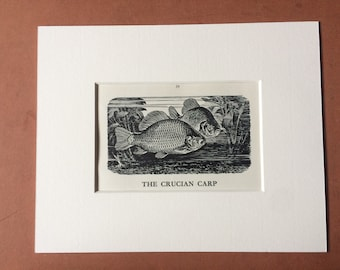 1958 The Crucian Carp Original Vintage Print - Mounted and Matted - Fish - Angling - Fishing - Cabin Decor - Available Framed