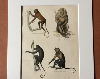 1862 Monkeys - Howler Mandrill Coaita Horned Original Antique Hand Coloured Engraving - Available Mounted, Matted and Framed - Wildlife