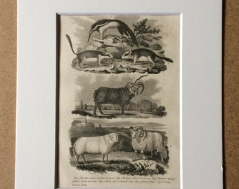 1809 Original Antique Engraving - Dormouse, Ram, Sheep, Anteater - Vintage Animal Art - Available Matted and Framed