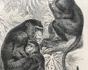 1896 Bhunder and Bonnet Monkey Original Antique Print - Monkey - Primate - Natural History - Mounted and Matted - Available Framed