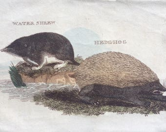 1811 Original Antique Hand-Coloured Engraving - Water Shrew and Hedgehog - Wildlife - Wall Decor - Zoology - Insectivora