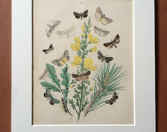 1882 Original Antique Hand-Coloured Engraving - Mounted and Matted - Butterfly - Moth - Lepidoptera - Insect - Entomology - Available Framed