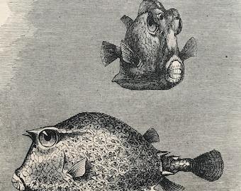 1896 Ostracion Quadricornis Original Antique Print - Fish Illustration - Marine Decor - Mounted and Matted - Available Framed