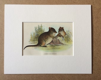 1896 Common Rat Kangaroo Original Antique Chromolithograph - Wildlife - Marsupial - Mounted and Matted - Available Framed