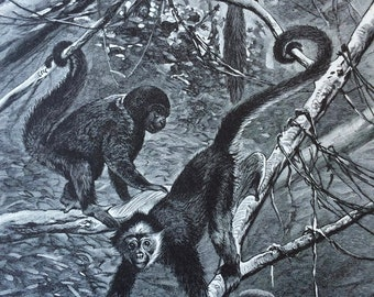 1897 Monkeys Original Antique Print - Mounted and Matted - Primate - Wooly Monkey - Spider Monkey - Wildlife - Animal Art - Available Framed