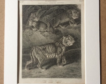 1819 Tiger, Panther and Leopard Original Antique Engraving - Available Mounted and Matted - Mammal - Wildlife Decor - Framed