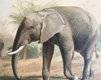 1893 African Elephant Original Antique Print - Wildlife - Natural History - Animal Art - Mounted and Matted - Available Framed