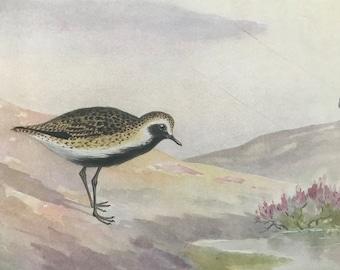 1924 Golden Plover Original Antique Print - Mounted and Matted - Ornithology - British Waders - Vintage Bird Art - Available Framed