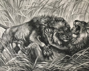 1895 A Battle Royal Original Antique Print - Mounted & Matted - Lion - Wildlife - Natural History - Victorian Decor - Available Framed