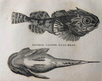 1812 Father Lasher Bull-Head Original Antique Engraving - Ichthyology - Fish Art - Fishing Cabin Decor - Available Framed