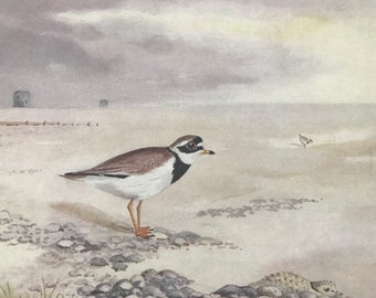 1924 Ringed Plover Original Antique Print - Mounted and Matted - Ornithology - British Waders - Vintage Bird Art - Available Framed