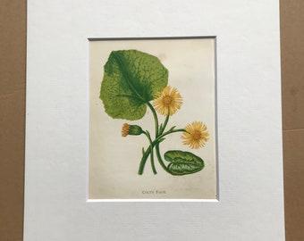 1852 Original Antique Hand-Coloured Anne Pratt Botanical Illustration - Colt's Foot - Botany - Garden - Available Framed