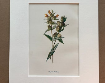 1878 Yellow Rattle Original Antique Botanical Lithograph - Botany - Flower - Wall Decor  - Home Decor - Matted & Available Framed