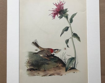 1937 Chestnut-Collared Longspur Original Vintage Audubon Print - Mounted and Matted - Available Framed - Bird Art - Ornithology