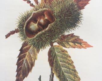 1902 Original Antique Matted Botanical Lithograph - Spanish Chestnut - Botany - Wild Fruit - Flower - Edward Hulme - English Countryside