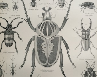 1875 Coleoptera Original Antique Matted Engraving - Beetle - Insect - Goliath Beetle - Ladybird - Entomology - Matted & Available Framed