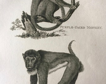 1800 Purple-Faced Monkey and Brown Baboon Original Antique Engraving - Wildlife - Zoology - Natural History