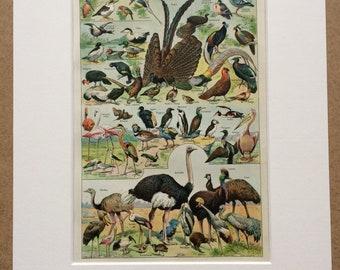 1923 Birds Original Antique Print - Mounted and Matted - Decorative Art - Wall Decor - Vintage Bird Art - Ornithology - Wildlife Decor