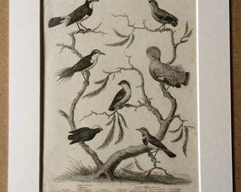 1819 Passeres Original Antique Engraving - Available Mounted and Matted - Ornithology - Bird - Decorative Art - Manakin - Warbler - Framed