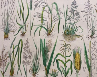 1890 Large Original Antique Botanical Lithograph - Botanical Print - Botany - Plants - Botanical Art - Wall Decor - Grass - Sedge - Reed