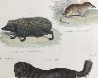 1862 Mole, Shrew, Hedgehog, Tibet Dog Original Antique Hand Coloured Engraving - Available Mounted, Matted and Framed - Wildlife