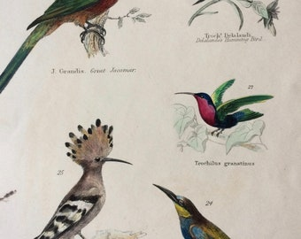 1862 Jacamar Hummingbird Bee-Eater Hoopoe Original Antique Hand Coloured Engraving - Available Mounted, Matted and Framed - Bird