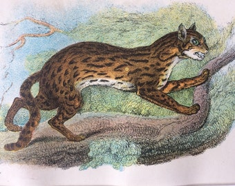 1896 Leopard Cat Original Antique Chromolithograph - Wildlife - Natural History - Mounted and Matted - Available Framed