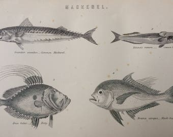 1891 Mackerel Original Antique Steel Engraving Encyclopaedia Illustration - Marine wall decor - home decor - Fish Varieties - Wildlife