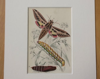 1896 Original Antique Chromolithograph - Moth - Butterfly - Insect - Lepidoptera - Entomology - Mounted and Matted - Available Framed