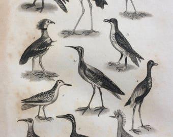 1822 Original Antique Matted Bird Engraving - Pratincole, Jacana, Trumpeter, Snipe, Phalarope, Petrel, Red Knot - Ornithology - Framed Decor