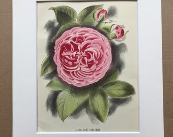 1939 Louise Odier Rose Original Vintage Print - Mounted and Matted - Botanical Illustration - Flower Art - Retro Decor - Available Framed
