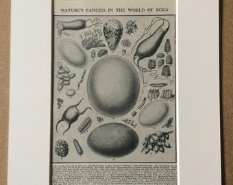 1940s Natures Fancies in the World of Eggs Original Vintage Print - Mounted and Matted - Wildlife - Science - Biology - Available Framed