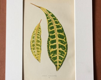 1872 Original Antique Hand Coloured Botanical Illustration - Botany - Beautiful Leaved Plant - Croton Variegatum - Available Matted & Framed