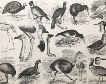 1869 Birds - Zoology Large Original Antique Illustration - Ornithology - Kiwi - Guinea Fowl - Rhea - Ostrich - Mounted and Matted