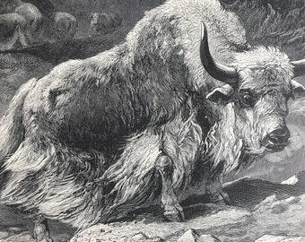 1893 Domestic Yak Original Antique Print - Wildlife - Natural History - Animal Art - Mounted and Matted - Available Framed