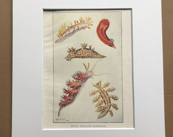 1903 British Sea Slugs Original Antique Print - Ocean Wildlife - Marine Decor - Mounted and Matted - Available Framed