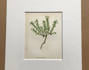 1852 Original Antique Hand-Coloured Anne Pratt Botanical Illustration - Common Eyebright - Flower - Botany - Garden - Available Framed