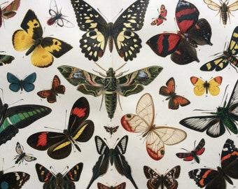 1904 Original Antique Lithograph - Butterflies and Moths - Entomology - Insect Art - Lepidoptera - Victorian Wall Decor