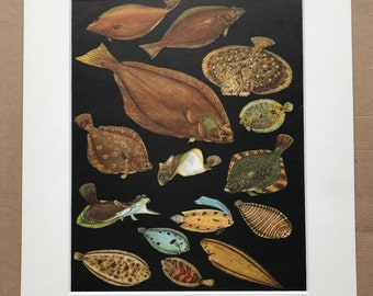 1968 Original Vintage Print - Mounted and Matted - Halibut, Turbot, Plaice, Sole, Plate Fish, Flounder, Topknot - Fish - Available Framed